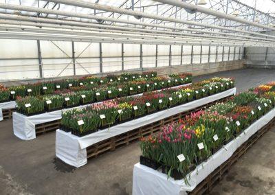 Tulip Trade Event 2016