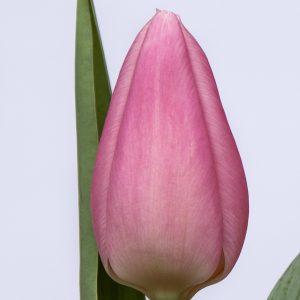 Beautiful pink tulip Aafke