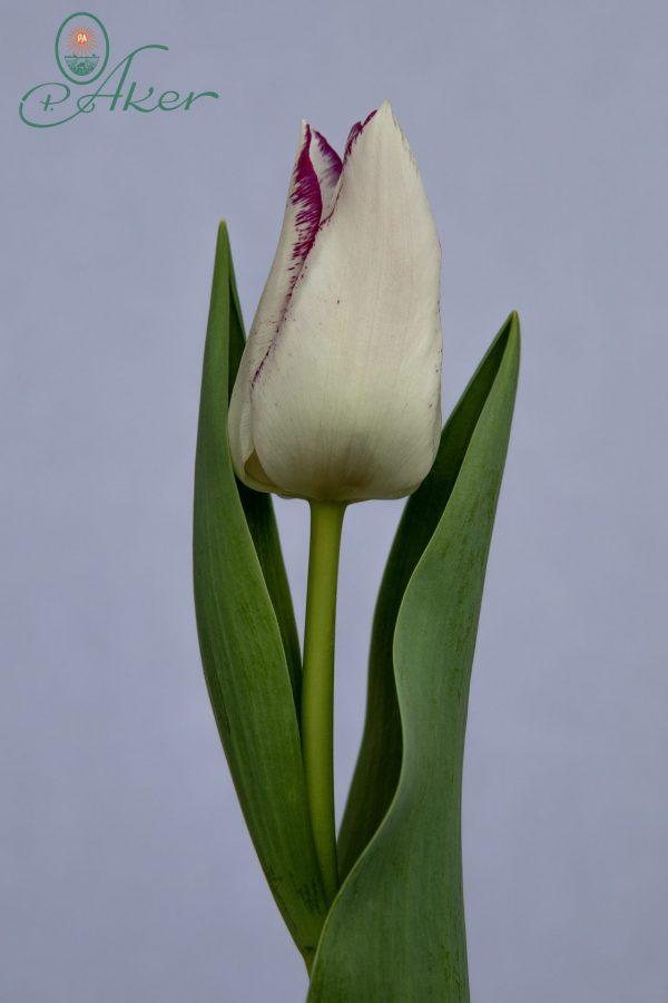 Beautiful bi-colord tulip Affaire