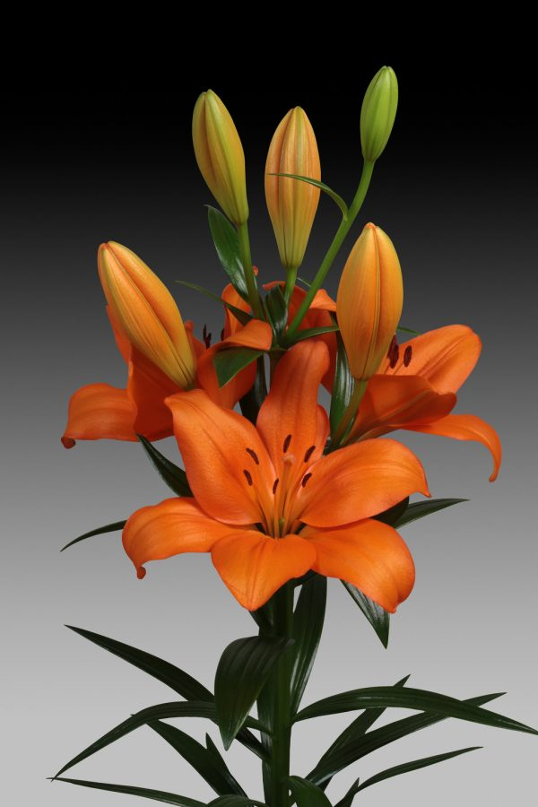 Akron, flowering orange lily