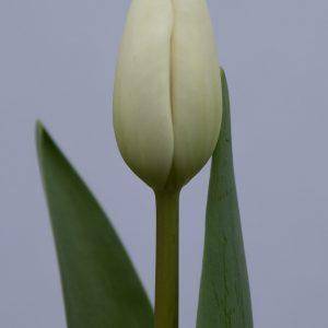 Stunning white tulip Albatros