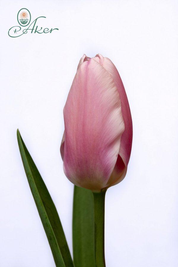 Beautiful tulip Algarve