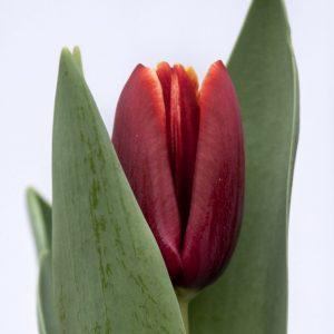 Beautiful red tulip Armani