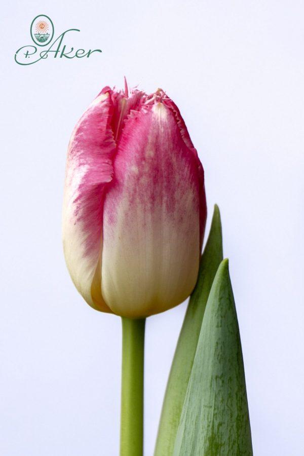 Beautiful pink tulip Auxerre