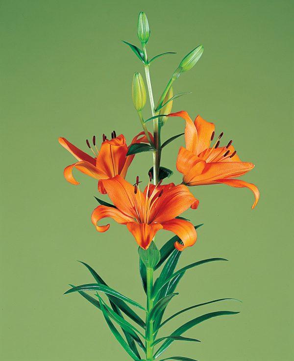 Beautiful orange lily 'Bariton'