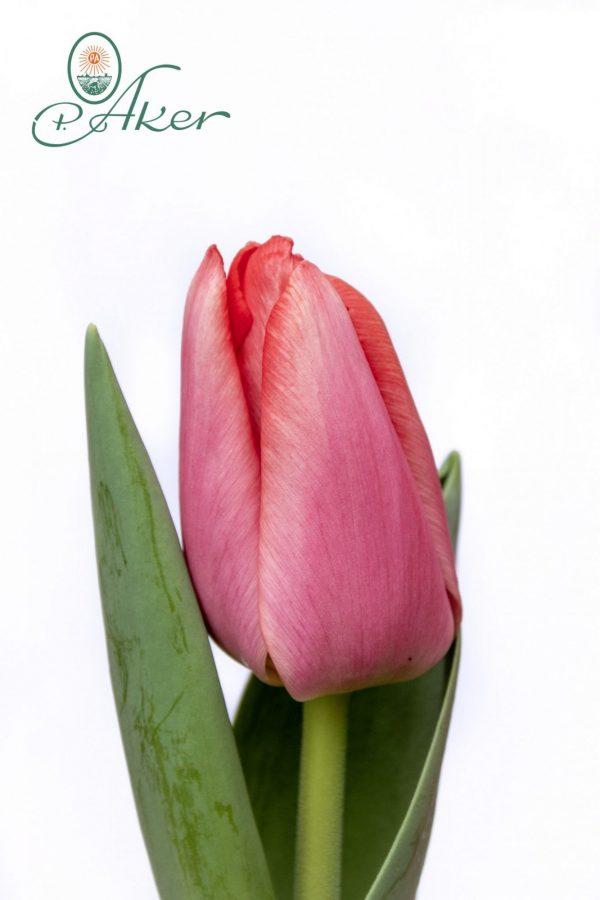 Beautiful tulip Barre Alta