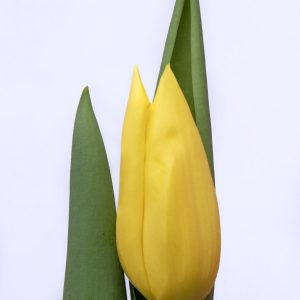 Beautiful yellow tulip Bolroyal Honey