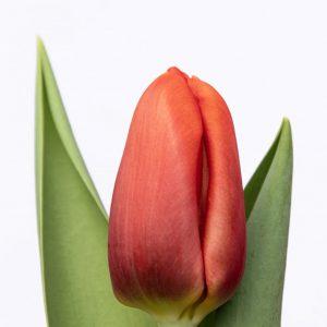 Beautiful orange tulip Bourbon Street