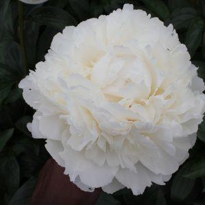 Beautiful white peony