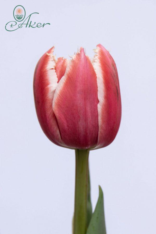 Beautiful Fringed tulip Brest