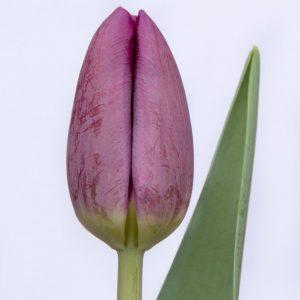 Beautiful purple tulip Bullit