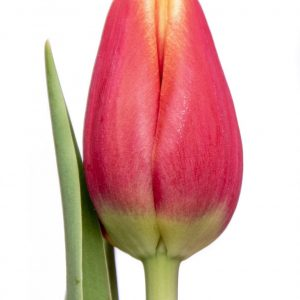 Beautiful red tulip Buster