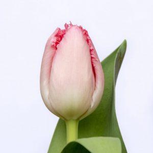 Beautiful pink tulp Cacharel