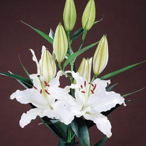 Beautiful white lily 'Carillon'