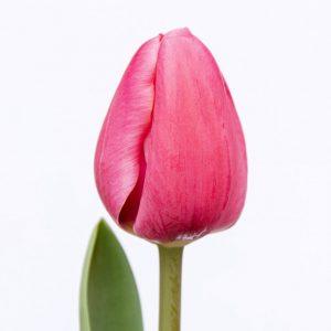 Beautiful pink tulip Carola