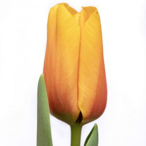 Beautiful yellow tulip Cash