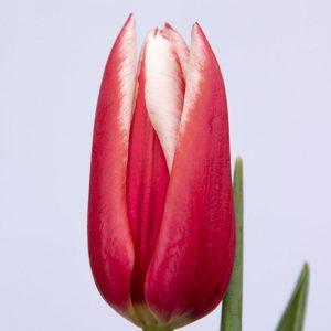 Beautiful red tulip Chacha