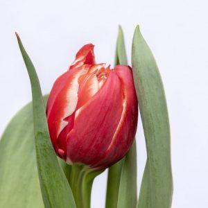 Beautiful red tulip Championship