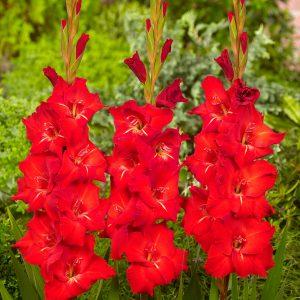Bright red gladiolus 'Chinon'