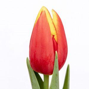 Beautiful red-yellow tulip