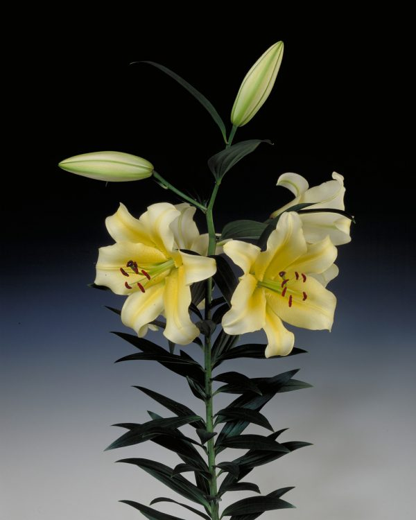 Beautiful yellow lily 'Conca D'or'