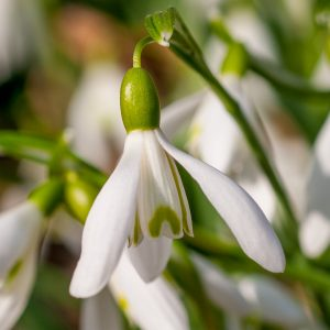 Growers can order there Galanthus here at P. Aker. Sincs 1894 active in the flowerbulbs and we know how to give proper care to flower bulbs.