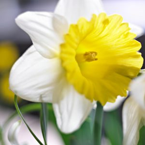 Beautiful white/yellow daffodil Goblet