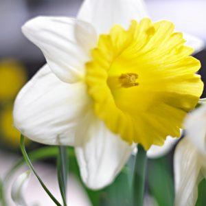 Beautiful white/yellow daffodil Goblet