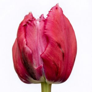 Beautiful fringed pink tulip Mascotte