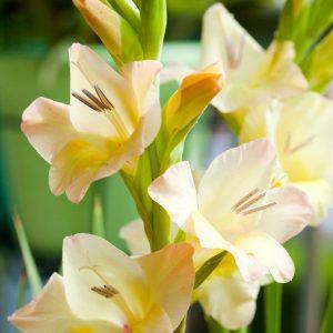 Beautiful yellow gladiolus 'Ovatie'