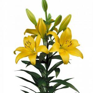 Beautiful yellow lily Pavia