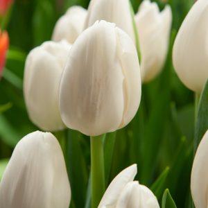 Beautiful white tulip