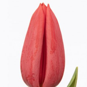 Beautiful red tulip Strong Love