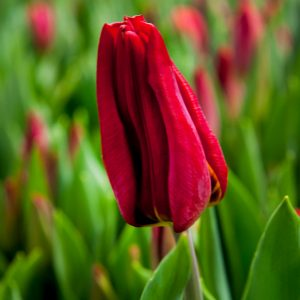 Red tulip Strong Power