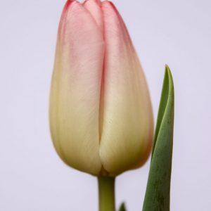 Beautiful pink tulip Supermodel