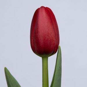 Single red tulip Surrender