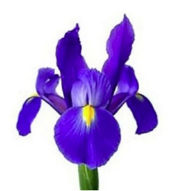 Sinds 1894 are flower bulbs our business. We supply professionals with the beste quality flower bulbs. Contact us for more information.