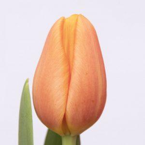 Beautiful orange tulip Time Out