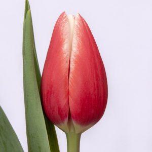 Beautiful red tulipa Timeless
