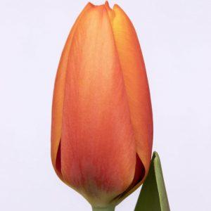 beautiful orange tulip Triple A