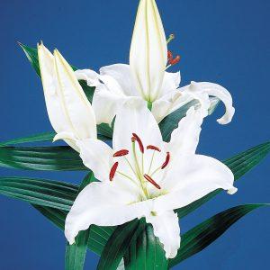 Beautiful white lily 'Universe'