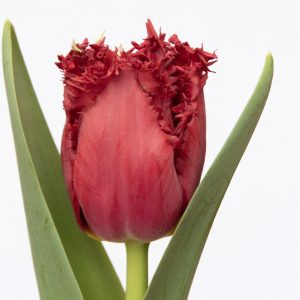 Beautiful red tulip Versaci