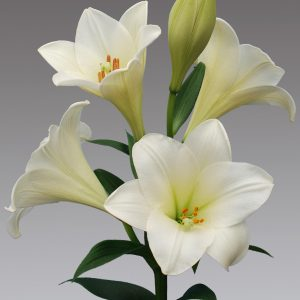 Watch up lily flower, find your flower bulbs here