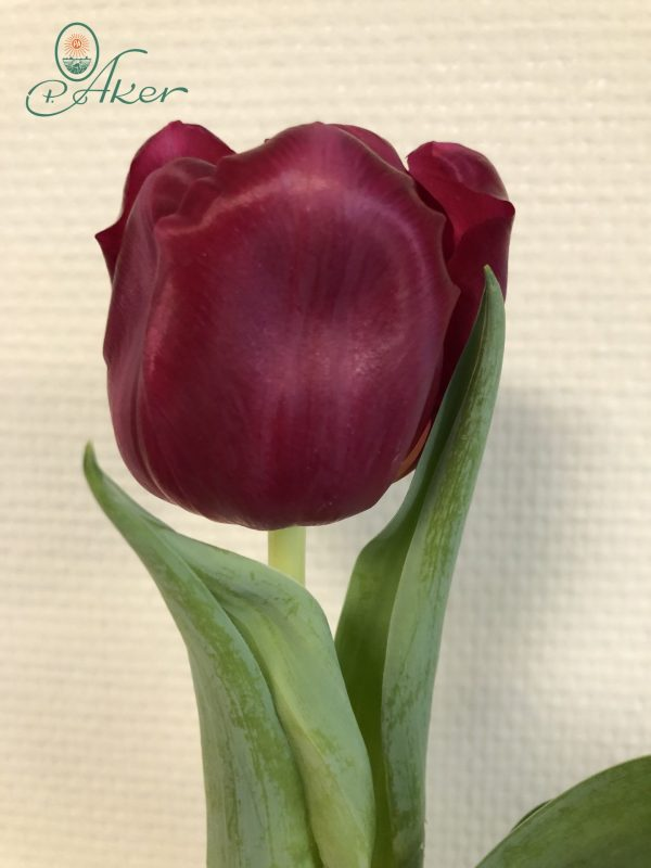 Close up with single red tulip