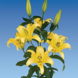 Beautiful yellow lily 'Yelloween'