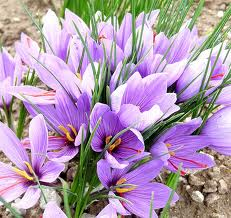 Great purple crocus bulbs the crocus Sativus