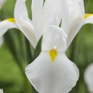 Alaska a beautiful white iris with good length