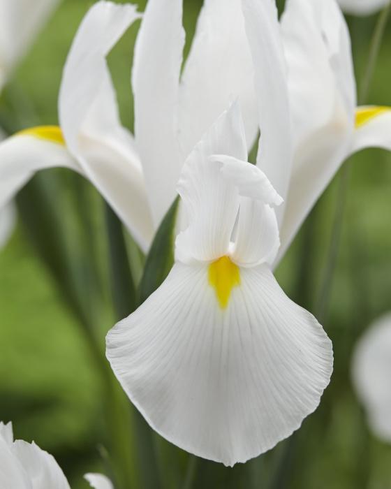 Alaska a beautiful white iris with good length