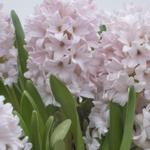 Beautiful Pink Hyacinth China Pink