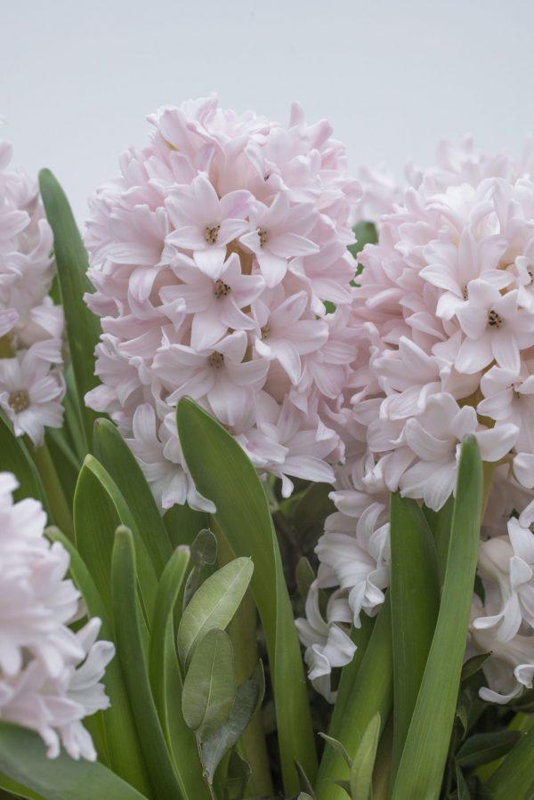 Beautiful Pink Hyacinth China Pink